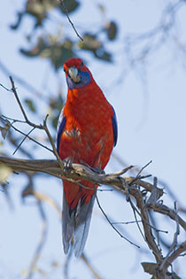 rosella parrot in tree